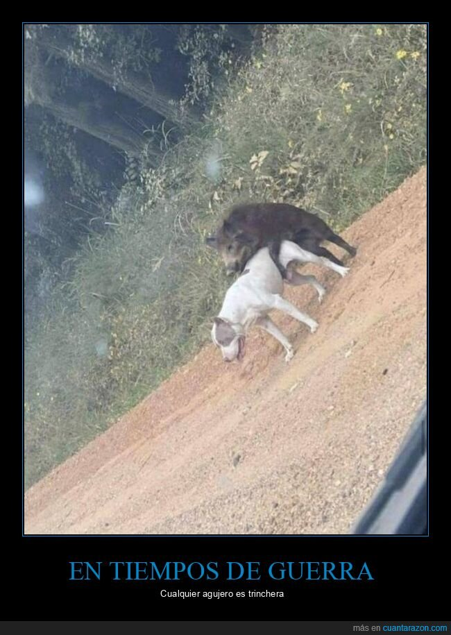 cerdo,montando,perro