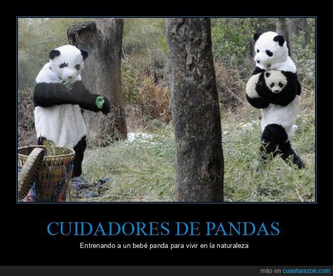 bebé,cuidadores,entrenando,pandas
