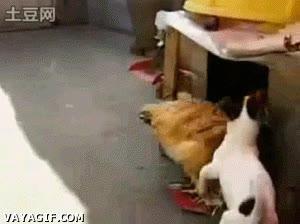 Enlace a El viola-gallinas
