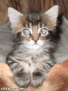 Enlace a Husky hipnotizador de gatos