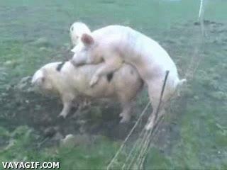 Enlace a Cerdos electrocutados