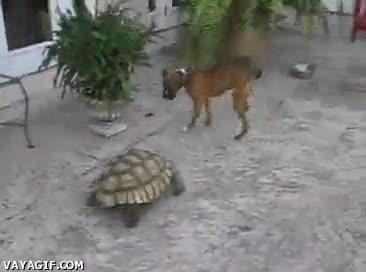 Enlace a La tortuga asesina