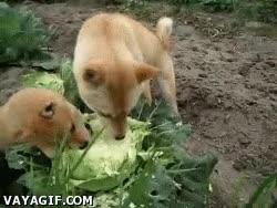 Enlace a Perros vegetarianos