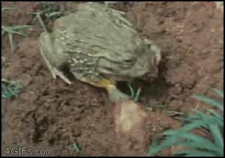 Enlace a La rana come ranas