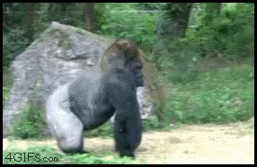 Enlace a Gorila andando erguido