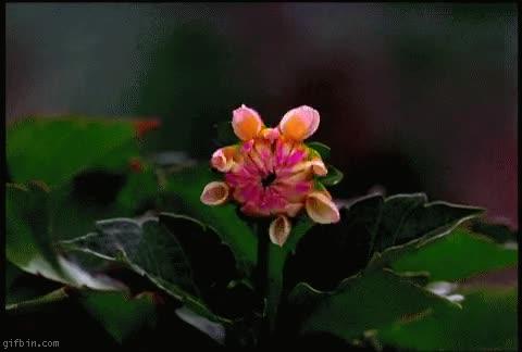 Enlace a Apertura floral