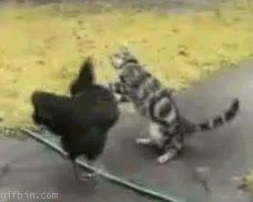 Enlace a La pelea del siglo: pollo VS gato
