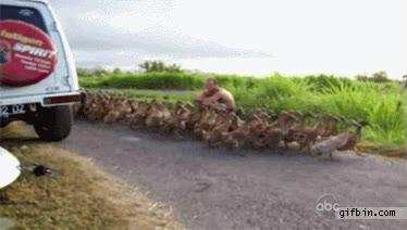 Enlace a Patos paseando