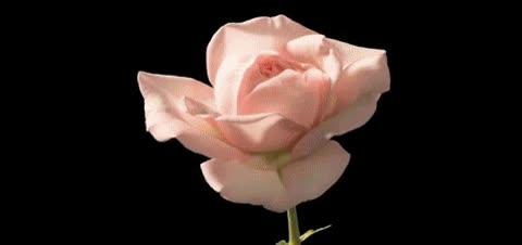 Enlace a El florecer de la rosa