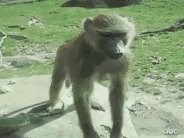 Enlace a Mono cochino