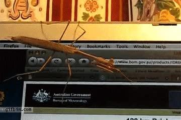 Enlace a Mantis vs Cursor del Ratón