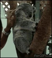 Enlace a Un koala con cosquillas