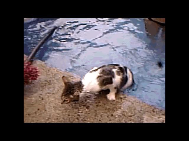 Enlace a Los gatos también nadan
