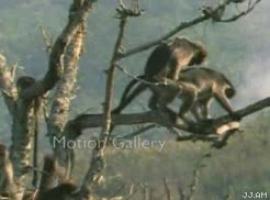 Enlace a Monos toca-cojones