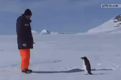Enlace a Pingüino ataca a un hombre
