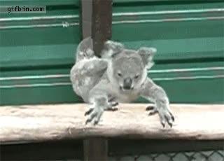 Enlace a Koala jugándose la vida
