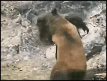 Enlace a Gorila vs. Oso