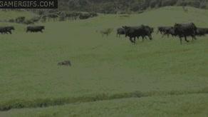 Enlace a Coche teledirigido vs. Vacas