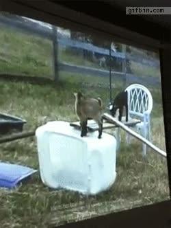 Enlace a Cabras a las que les gusta ver programas de cabras