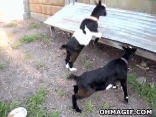 Enlace a A esta cabra le han dado veneno