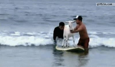 Enlace a La cabra surfera