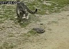 Enlace a La curiosidad mató al gato