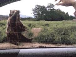 Enlace a Un oso educado