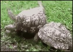 Enlace a Tortuga amiga