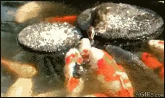 Enlace a Patito majete alimentando a los peces