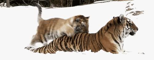 Enlace a ¿Algo que mole más que dos tigres en la nieve?