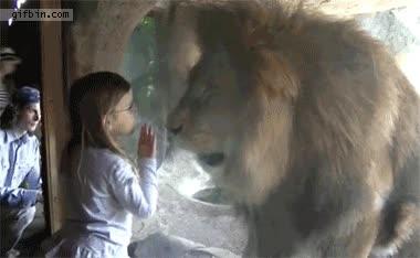 Enlace a Un beso después de la reacción del león