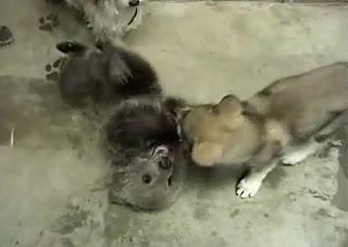 Enlace a Oso vs lobo, ¿por quién apuestas?