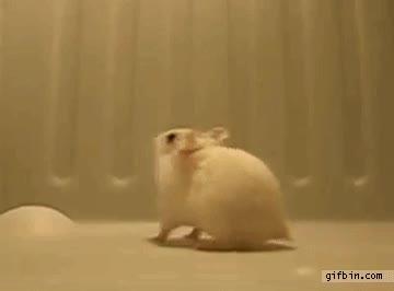 Enlace a Hamster haciendo backflips