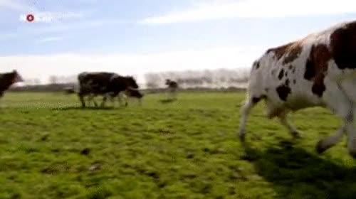 Enlace a Esta vaca presenta los síntomas de la fiebre de las vacas locas