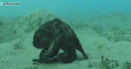Enlace a Pulpo caminando por el fondo marino