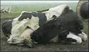Enlace a Vaca autoalimentándose