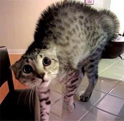 Enlace a Gato asustado