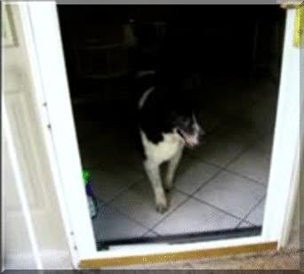 Enlace a Perro no puede pasar porque cree que hay un cristal