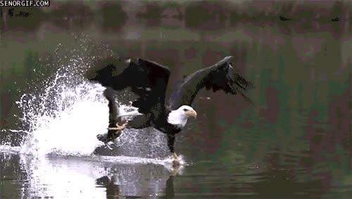 Enlace a Águila pescando
