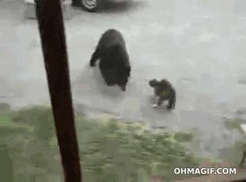 Enlace a Gato encarándose a un oso