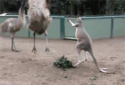 Enlace a El poder del canguro