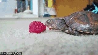 Enlace a Tortuga bebé comiendo una frambuesa