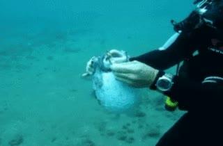 Enlace a Salvando a mi colega pez globo