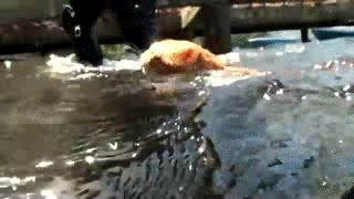 Enlace a ¿Habías visto alguna vez un gato nadando en el mar?