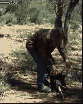 Enlace a Cómo cazar a un canguro