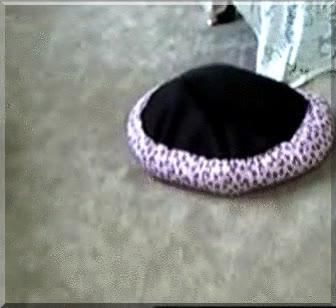 Enlace a Perro con complejo de tortuga
