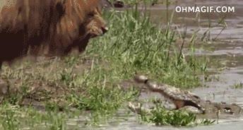 Enlace a León intimida a un cocodrilo