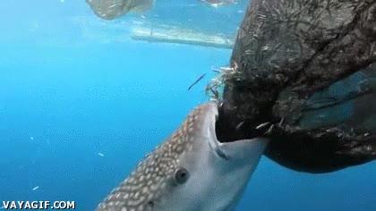 Enlace a Tiburón come directamente de la red de pesca, modo fácil on