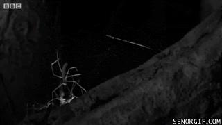 Enlace a Así caza una araña