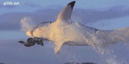 Enlace a Ataque de un tiburón en cámara lenta